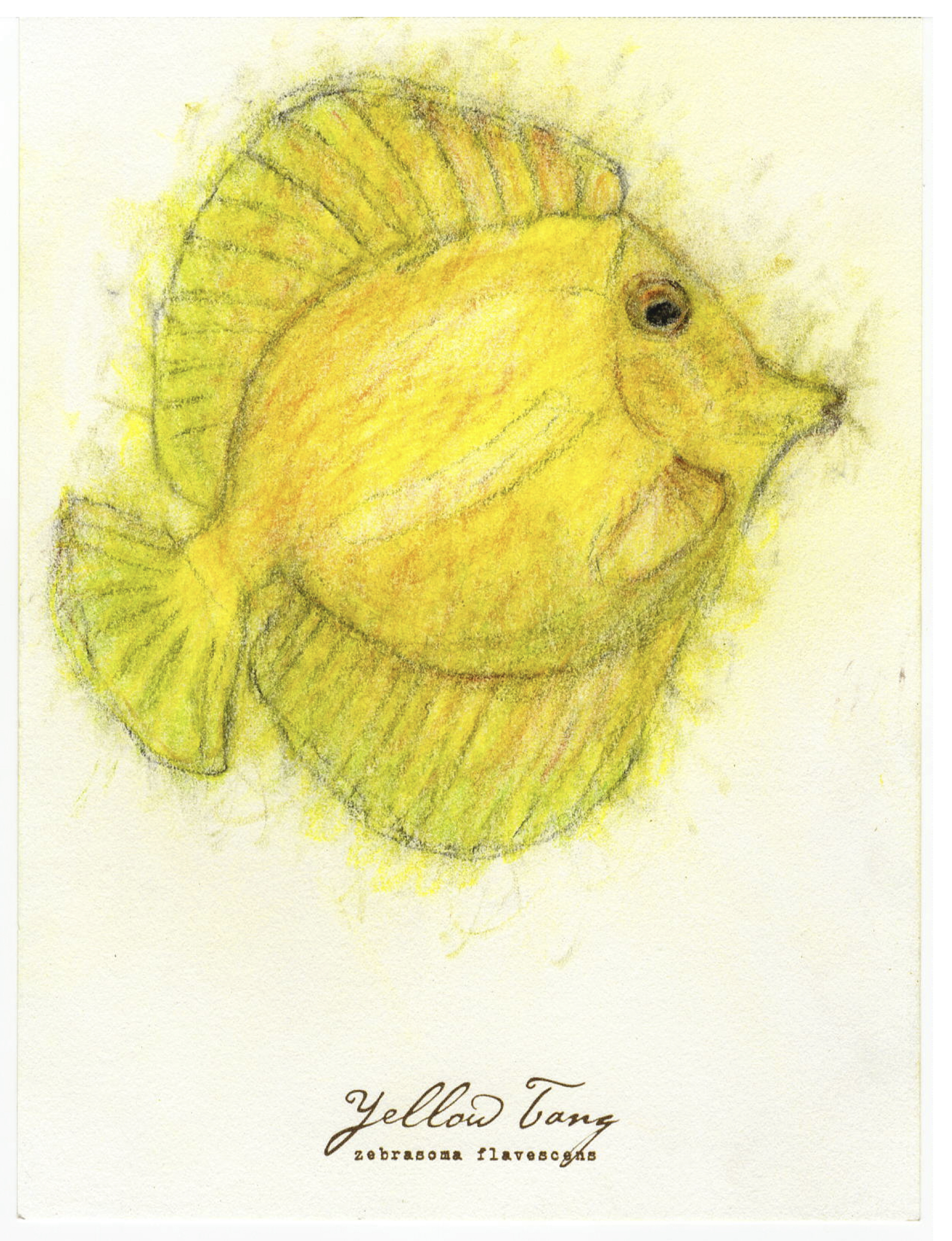 """Yellow Tang, 2017 6"""" x 8"""" charcoal & prismacolor on paper"""