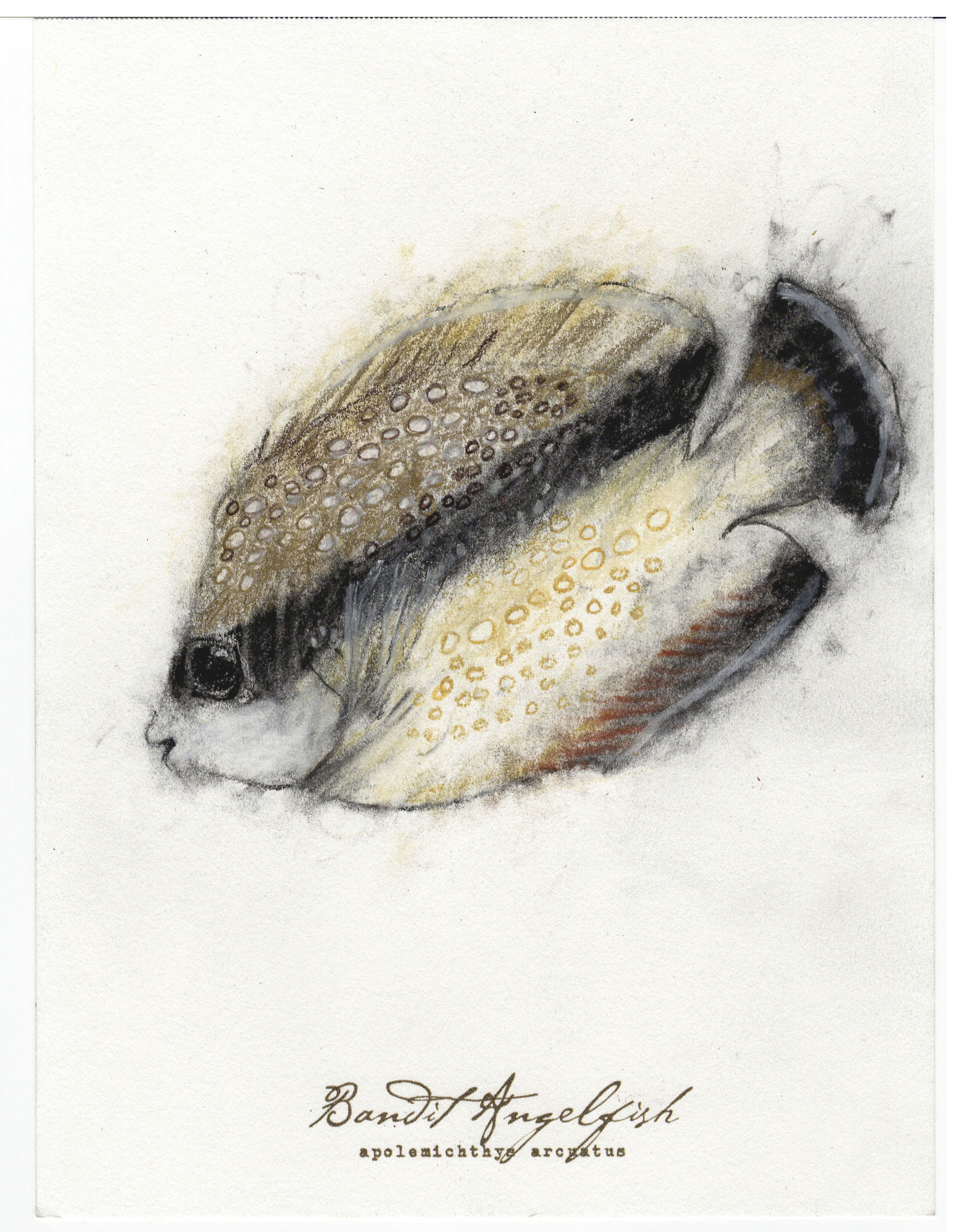 "Bandit Angelfish, 2017 6"" x 8"" charcoal &prismacolor on paper"