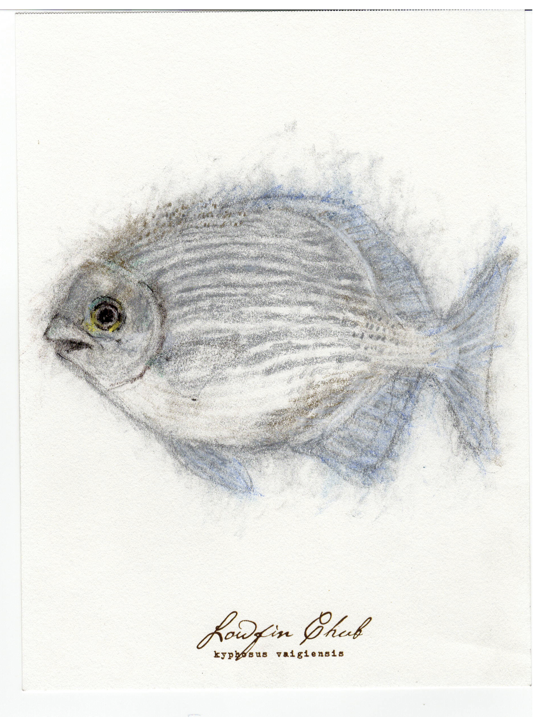 """Lowfin Chub, 2017 6"""" x 8"""" charcoal & prismacolor on paper"""