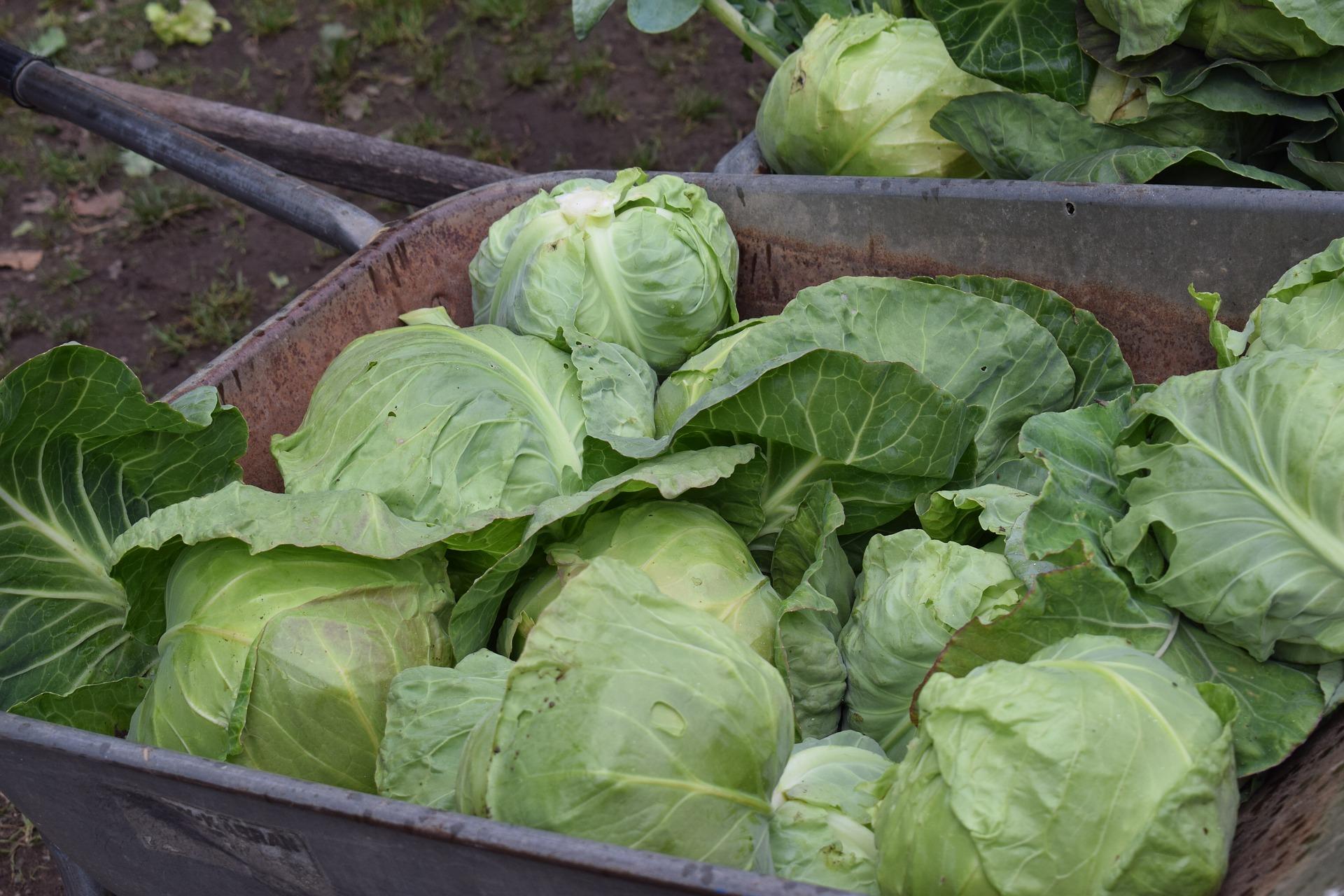 cabbage-2539966_1920.jpg