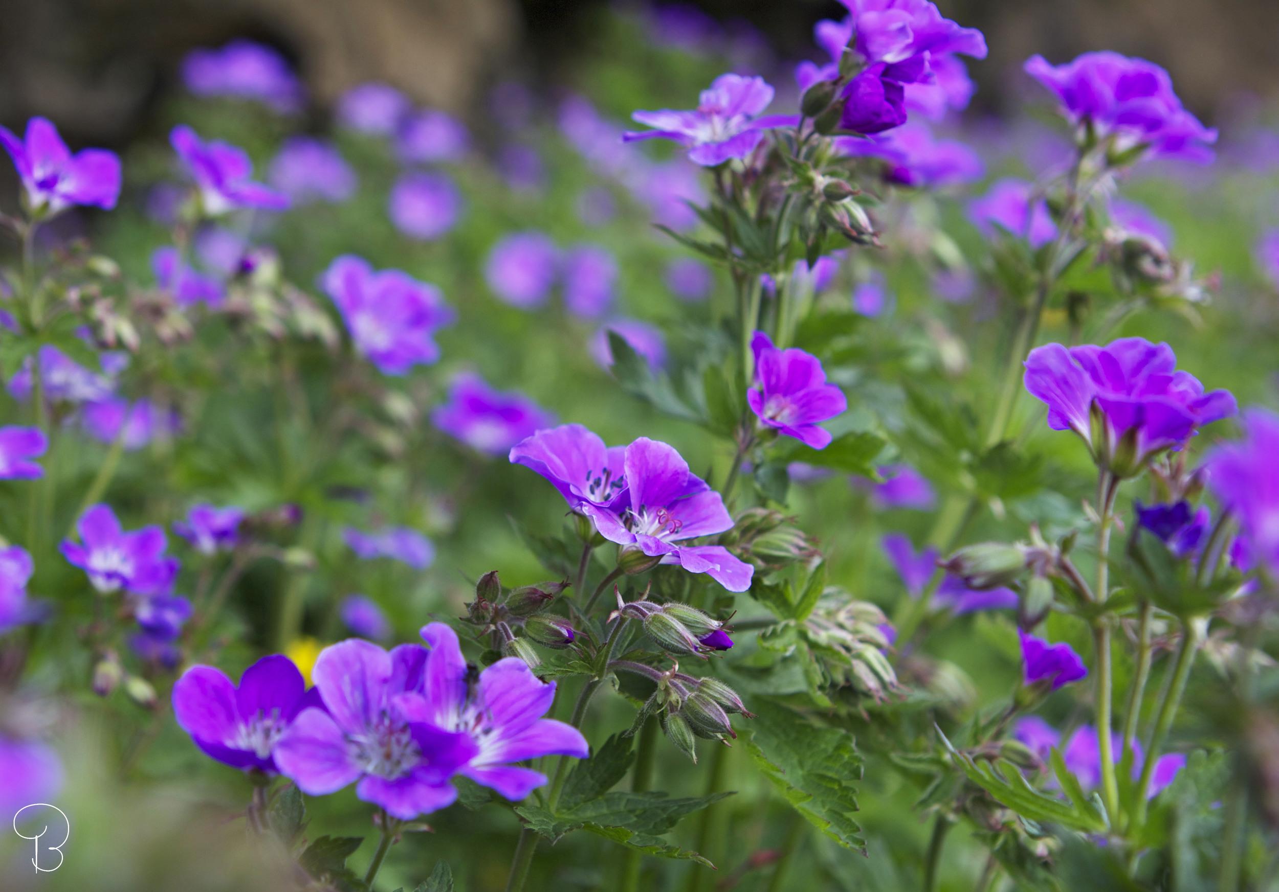 flower_þingvellir.jpg