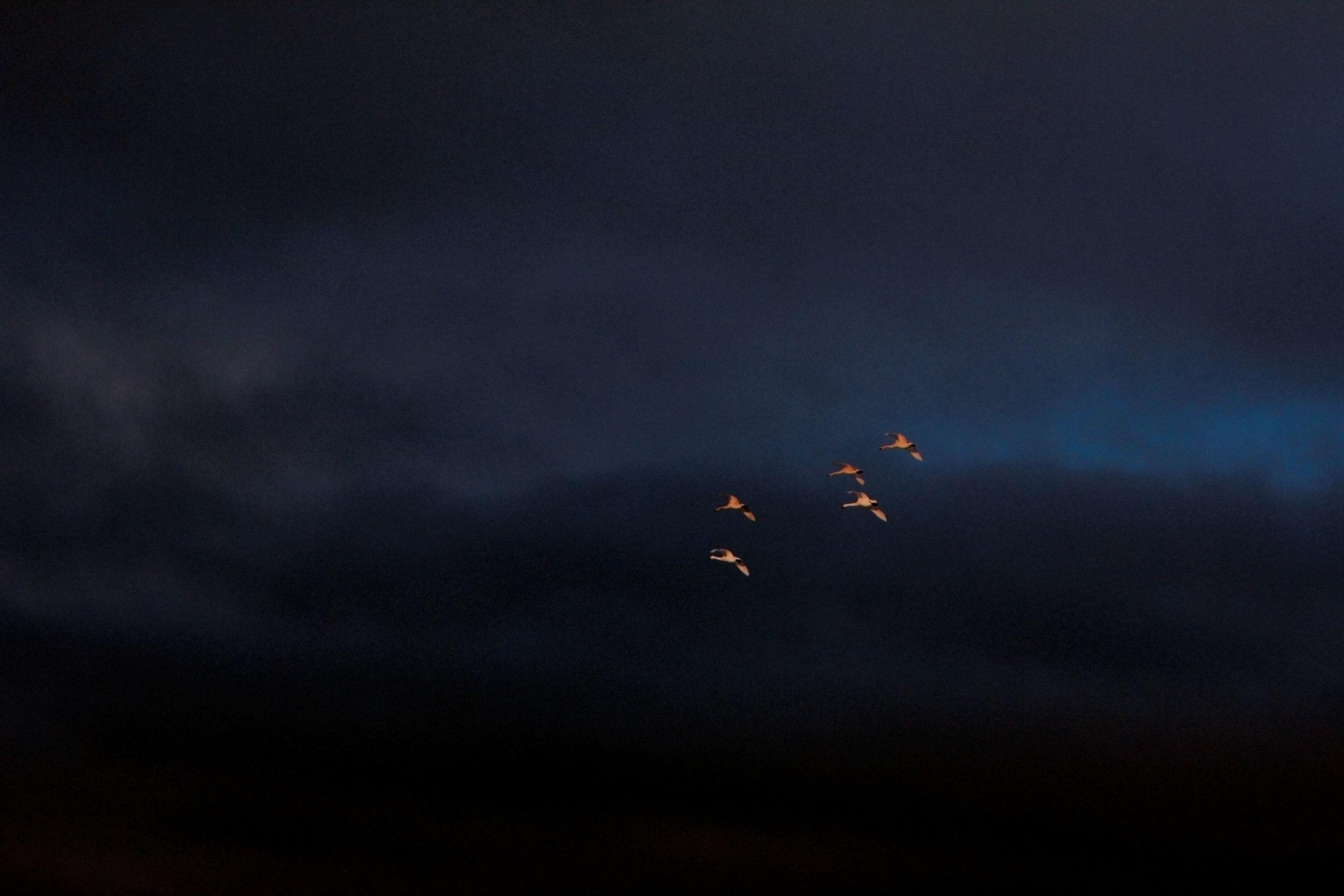 alftir-swan-bird-iceland-reykjavik-blog