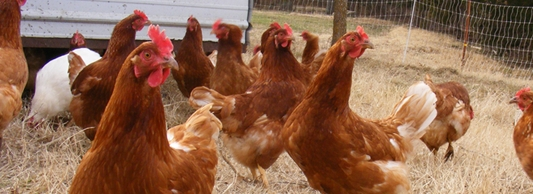 Click here to learn about our eggs and hens.