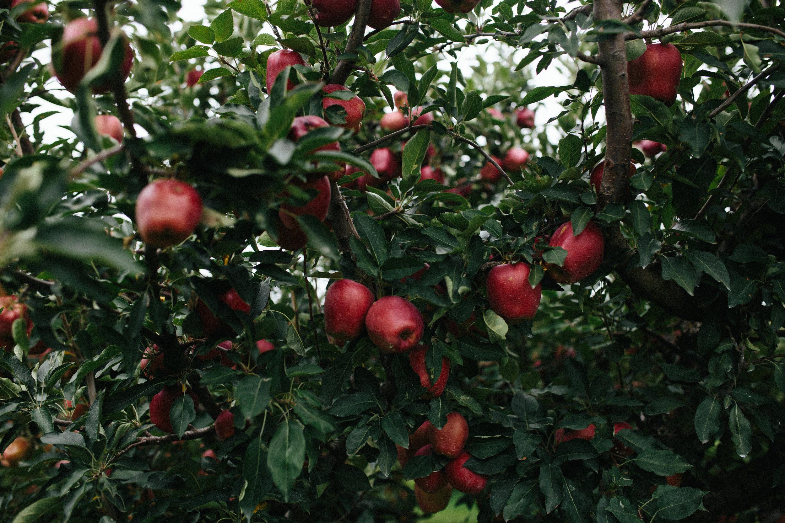 Apple Picking 16'-46.jpg
