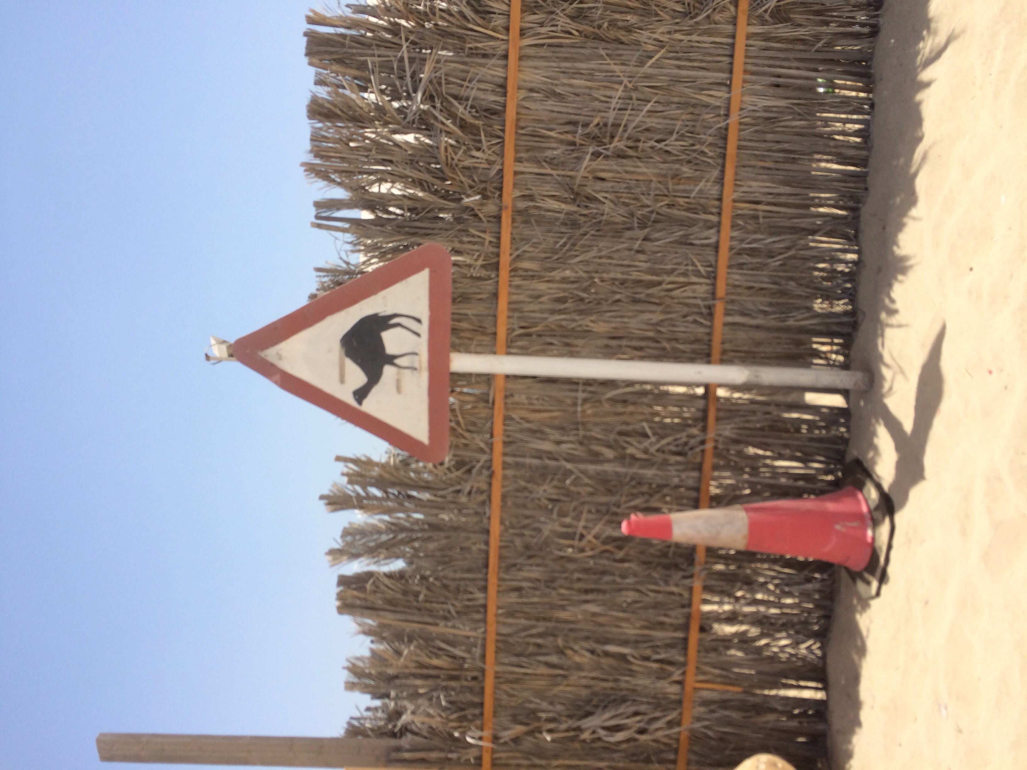 Yield to the camels (duh)