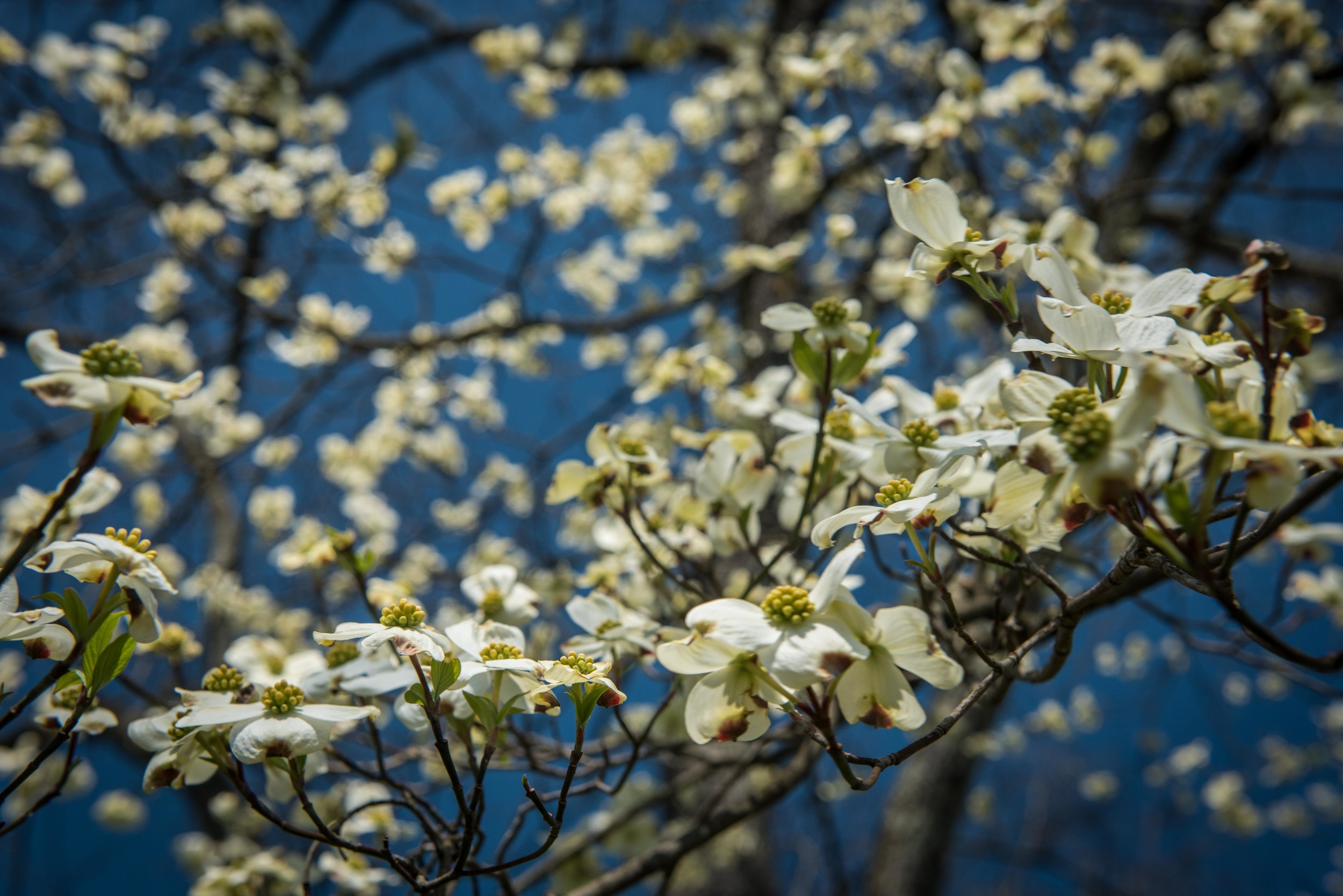 The Dogwoods are starting to show off here in Tennessee.