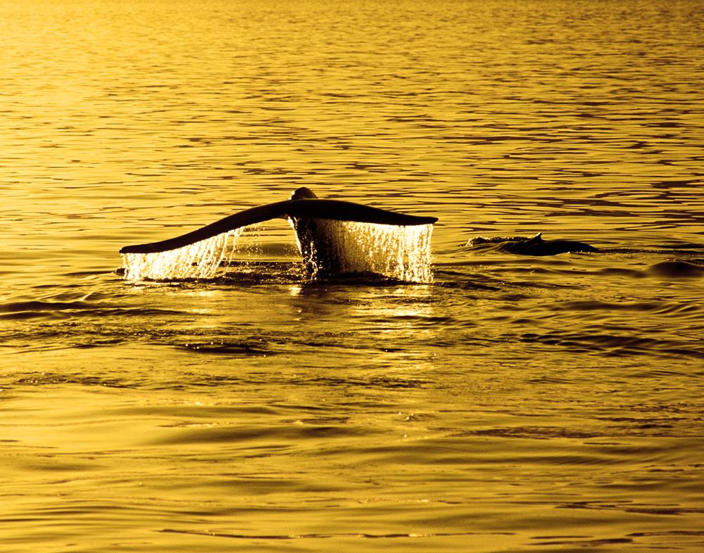 Golden Blue Whale, Mar de Cortez