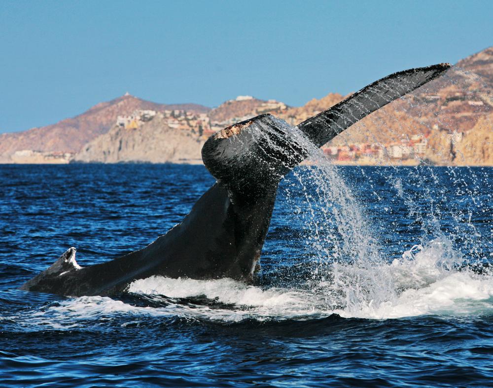 Humpbacks, Los Cabos