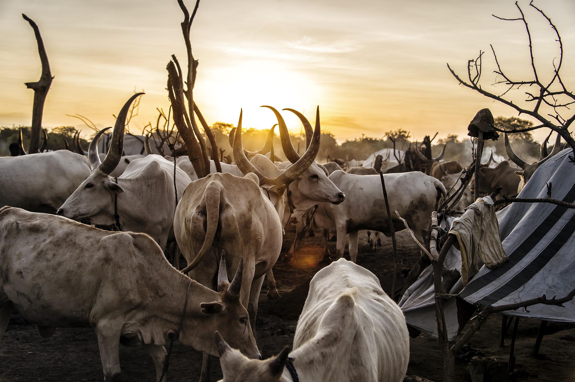 Cattle Camp. Bor, South Sudan