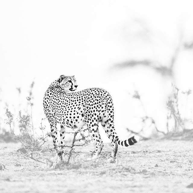 From my new Vanishing series. This beautiful cheetah female looks over her shoulder, a quick glance to be sure all is okay. Cheetah numbers are estimated at fewer than 7,000 in the wild, down almost 50% in the past 20 years, due to loss of habitat and prey, and poaching. #blackandwhite #cheetah #endangeredspecies #bigcats #kenya #wildlife #wildlifeconservation #nikon