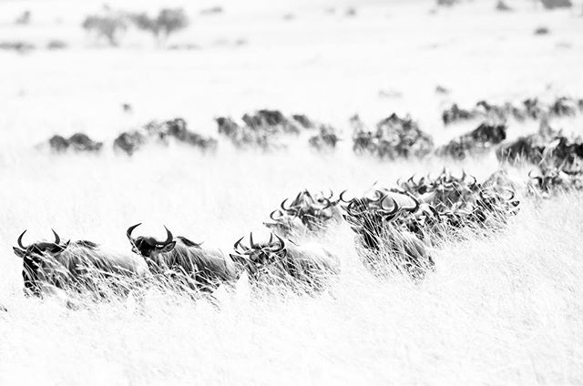 Vanishing - populations of wildebeest. UN Environment Program estimates migrating populations in East Africa have declined drastically by two-thirds since the 1980s due to loss of migratory corridors, increasing human population densities, expanding agriculture and urbanization. #kenya #endangered #wildlifeconservation #wildlife #blackandwhite #nikon