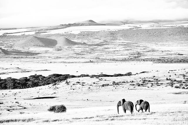 Another image from my Vanishing series. Lewa elephants. A protected corner, a population thriving, yet a highway in the distance. What does the future hold and how long can we preserve this space?  #lewa #endangeredspecies #blackandwhitephotography #nikon #kenya #elephant #conservation