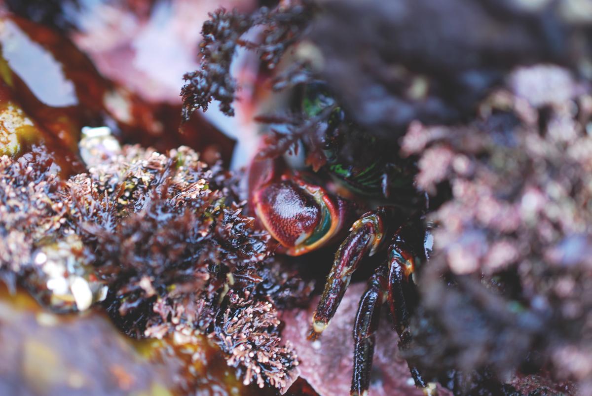 Crab | Montana de Oro
