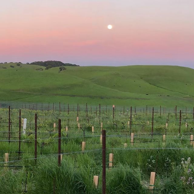 Full Moon at Azari Vineyards. Wish you were here to share it with us! #fullmoon #sunset #wine #winery #petalumagap #petaluma #wishyouwerehere