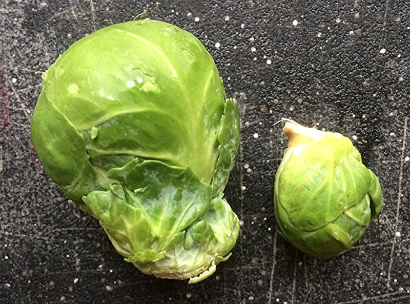 As you can see, not all sprouts are created equal! I cut the large one in half and kept the small one whole.