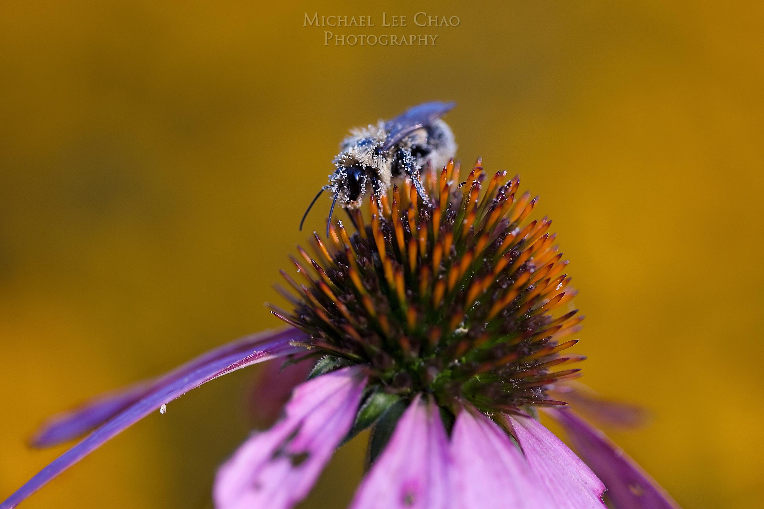 bumblebee-6179.jpg