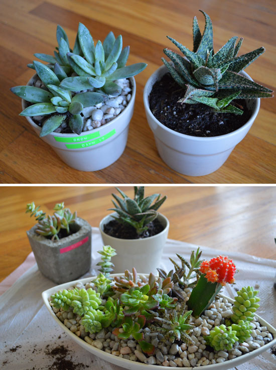 potted succulents