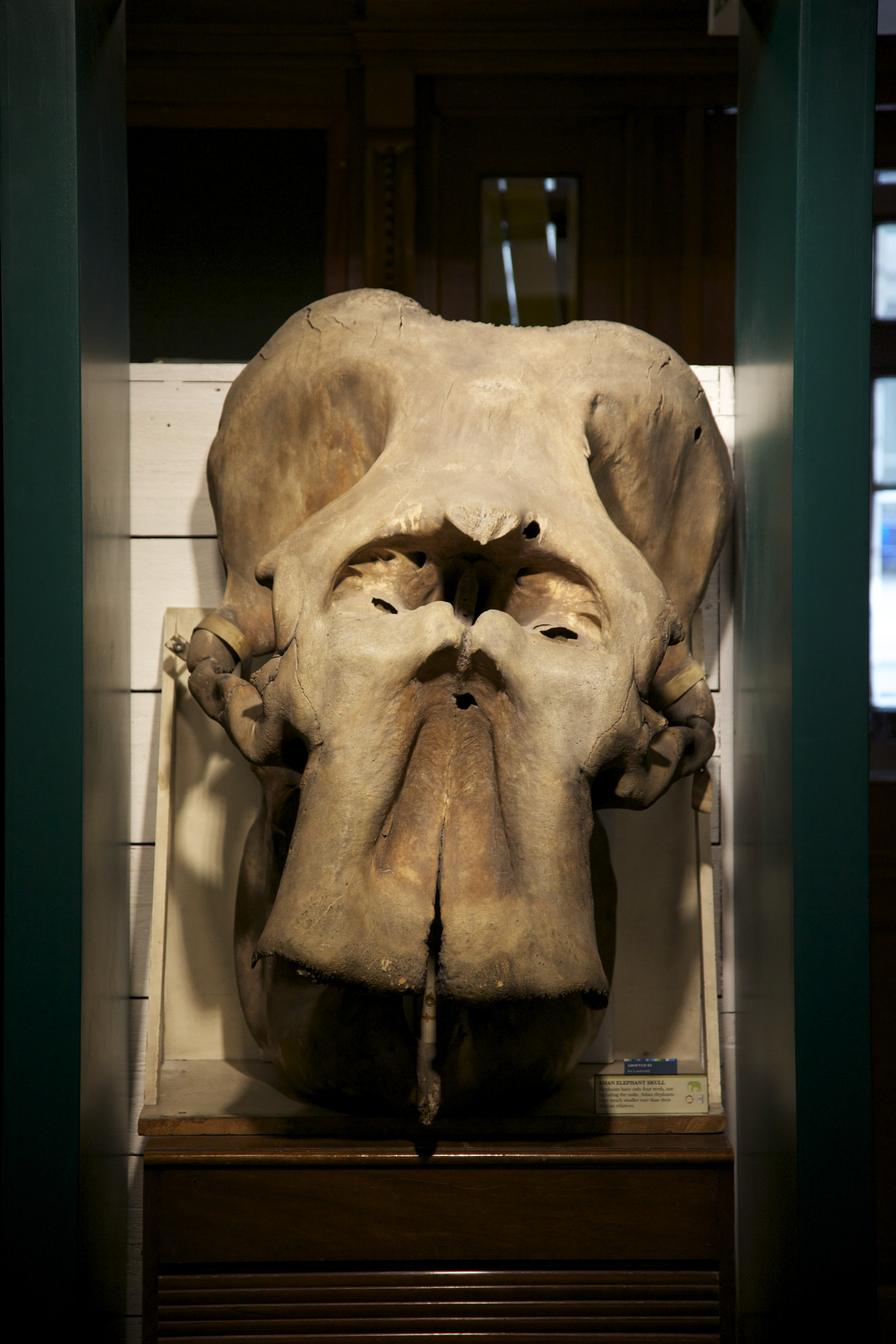 Elephant skull at UCL's Grant Museum of Zoology. I herd somewhere that Elephant skulls were thought to have sparked/encouraged the cyclops myth. Possibly untrue, but you can see how they might.