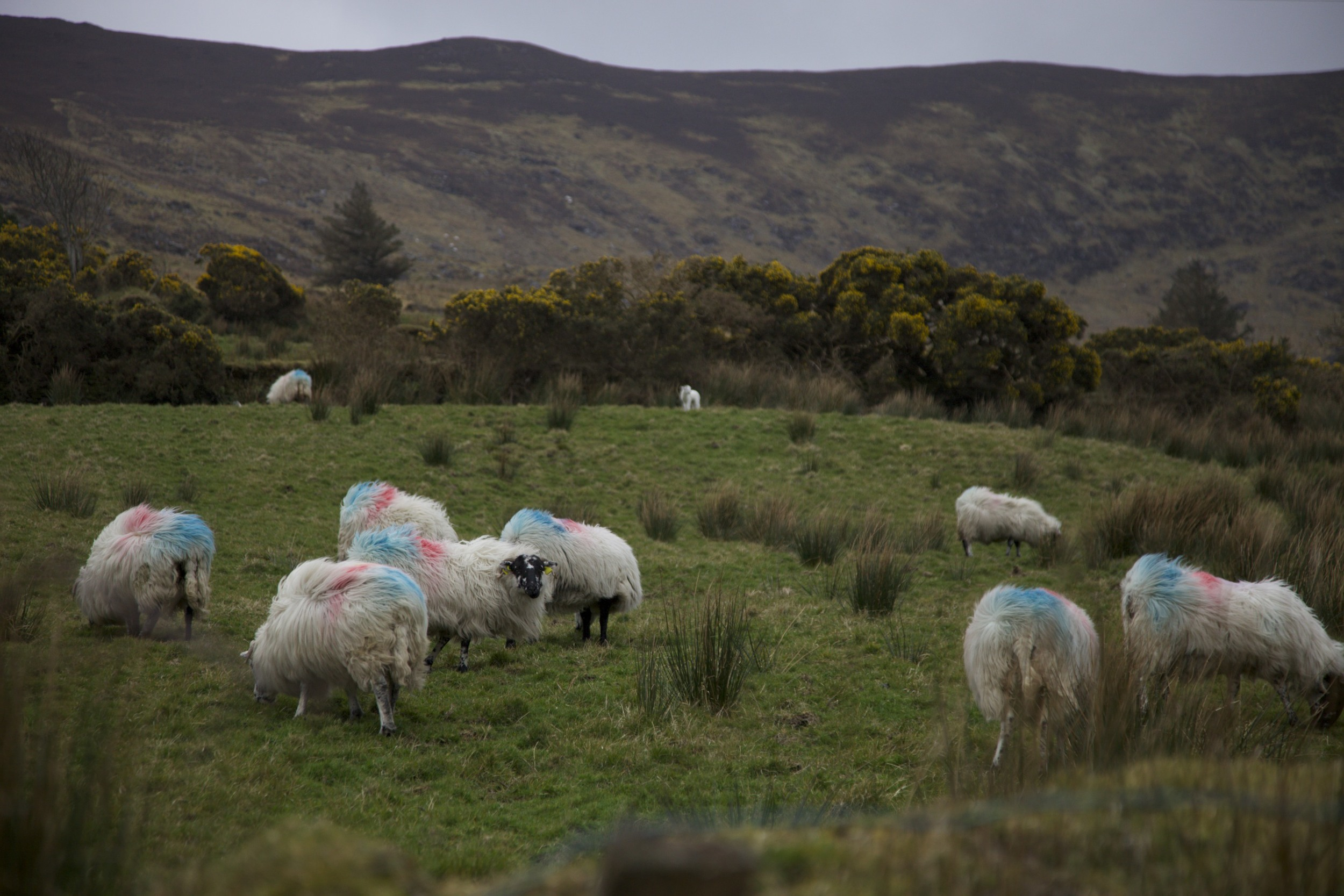 Sheep somewhere along The Ring of Kerry.  (Ireland.)