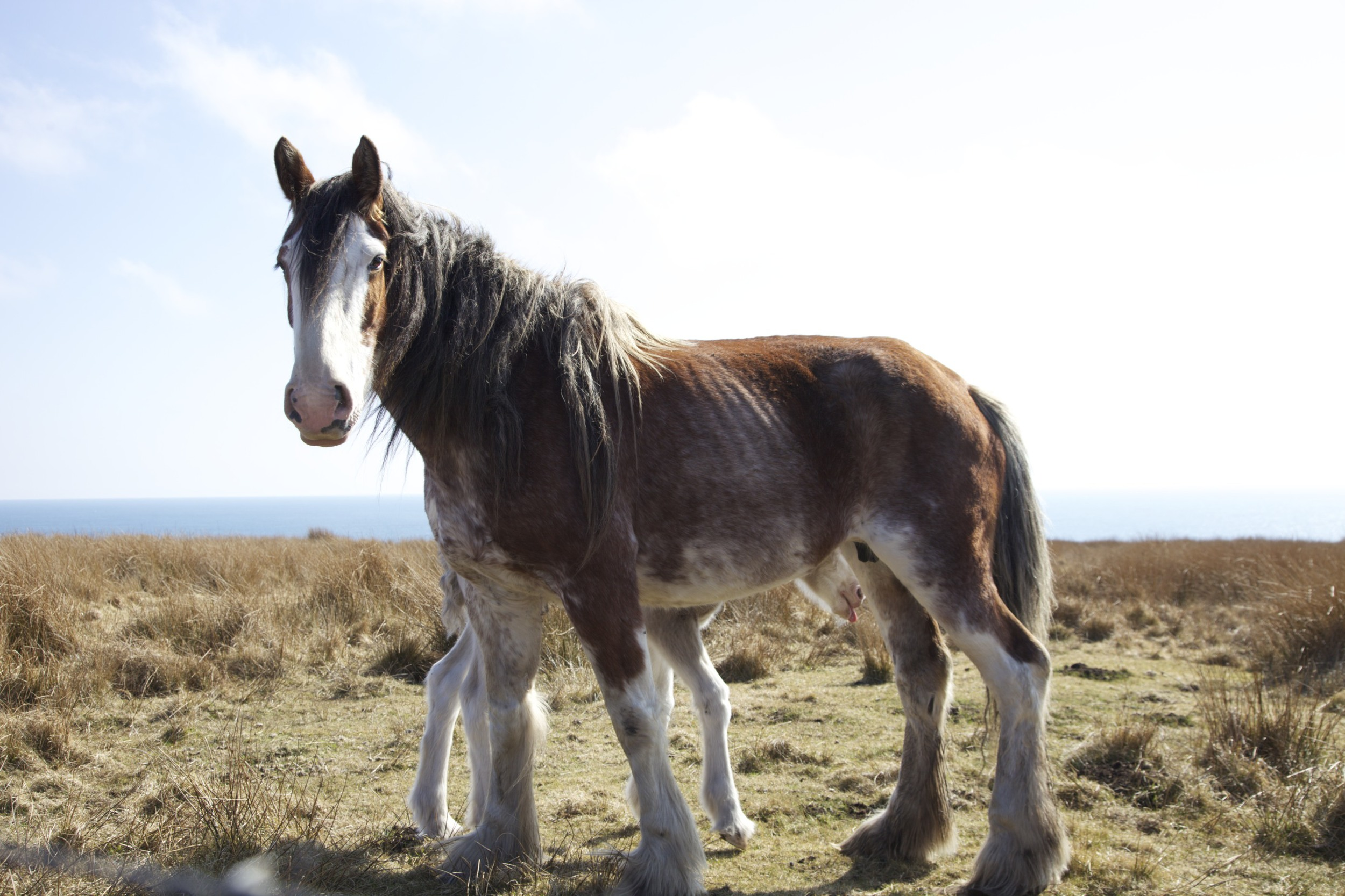 Part of a friendly clydesdale family on the drive from Ullapool to John O'Groats.  (Scotland.)