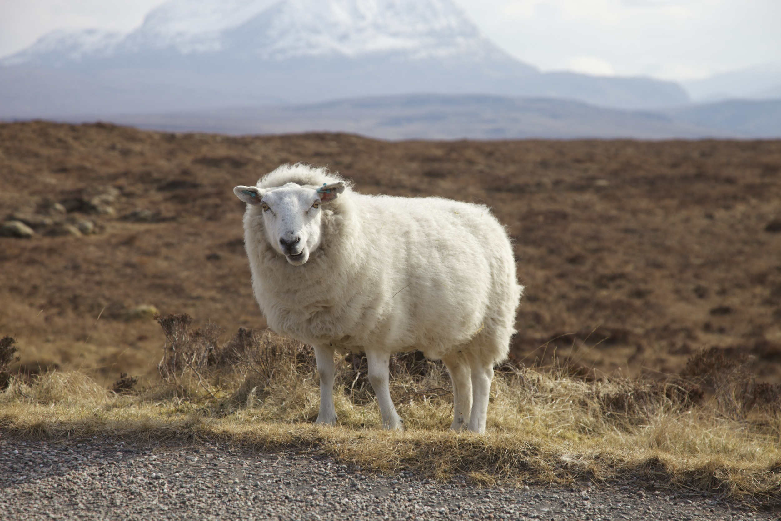 Another sheep on the drive back to Ullapool.  (Scotland.)