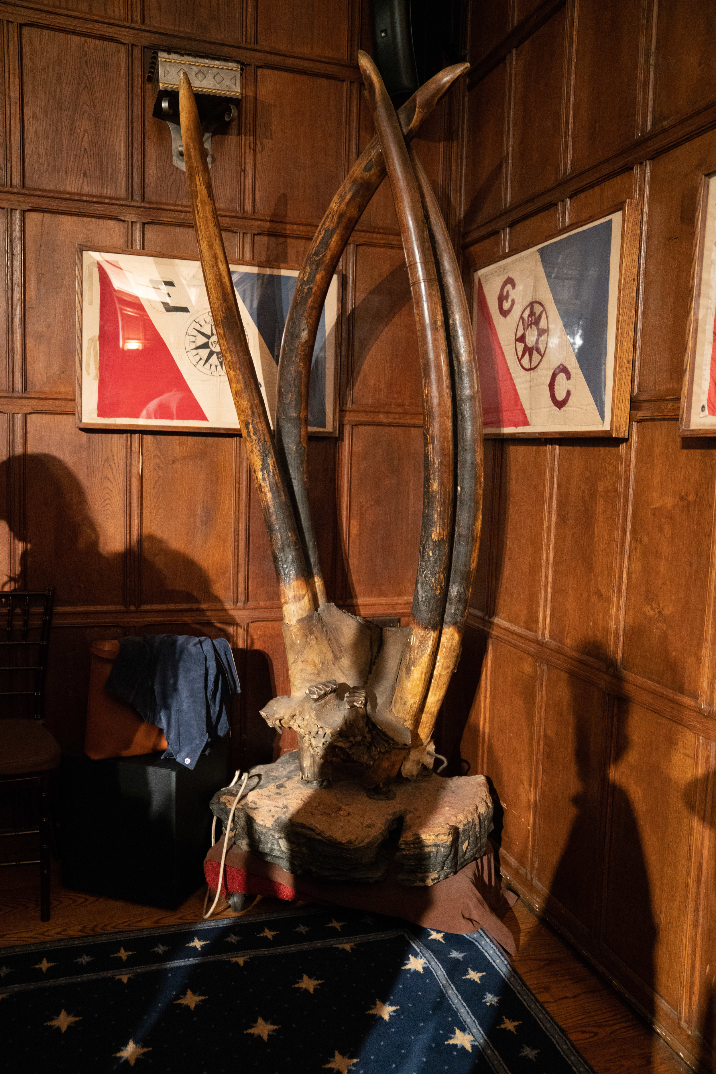 The tusks of a rare four-tusked elephant in the Clark Room.