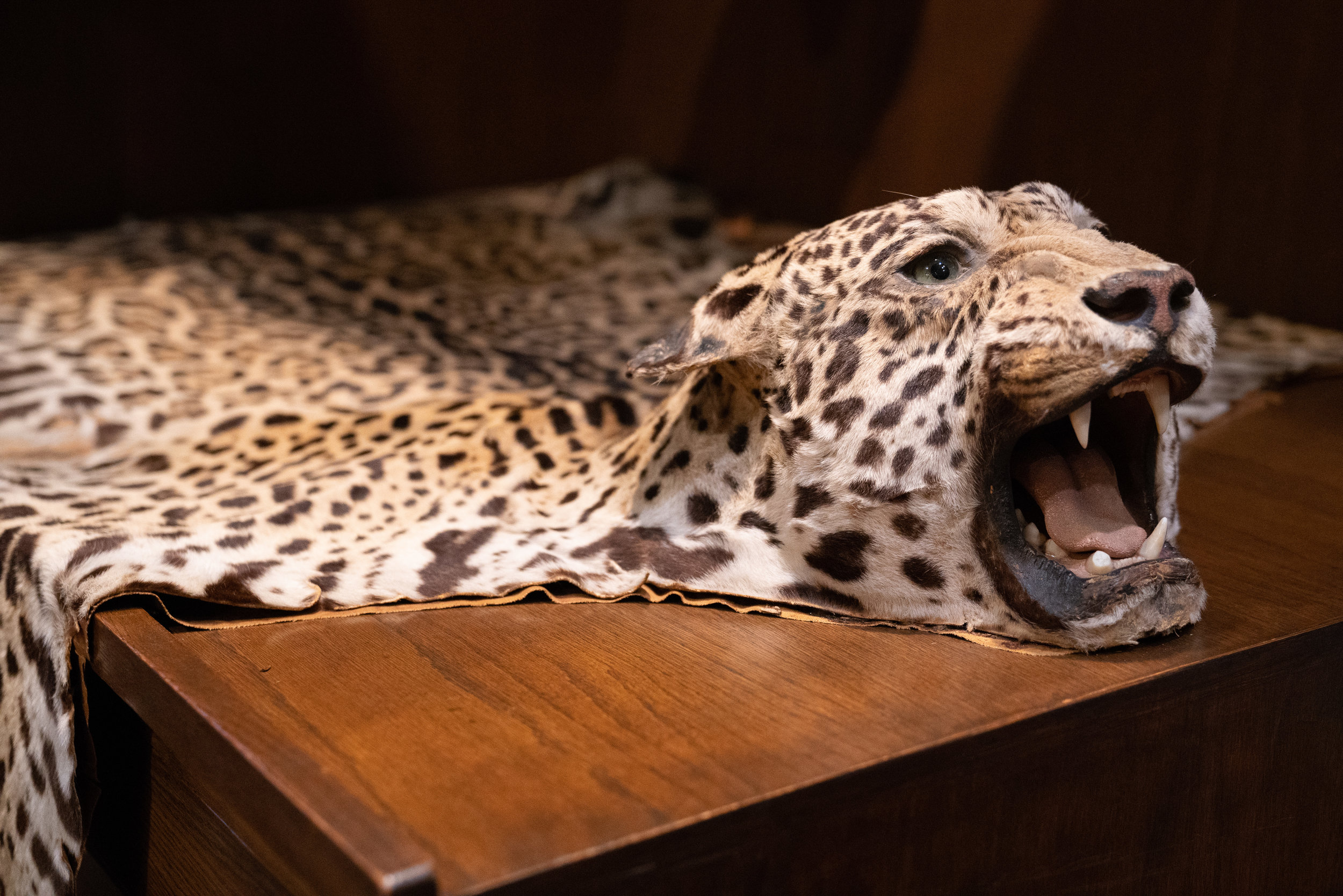 An ex-leopard in the trophy room.