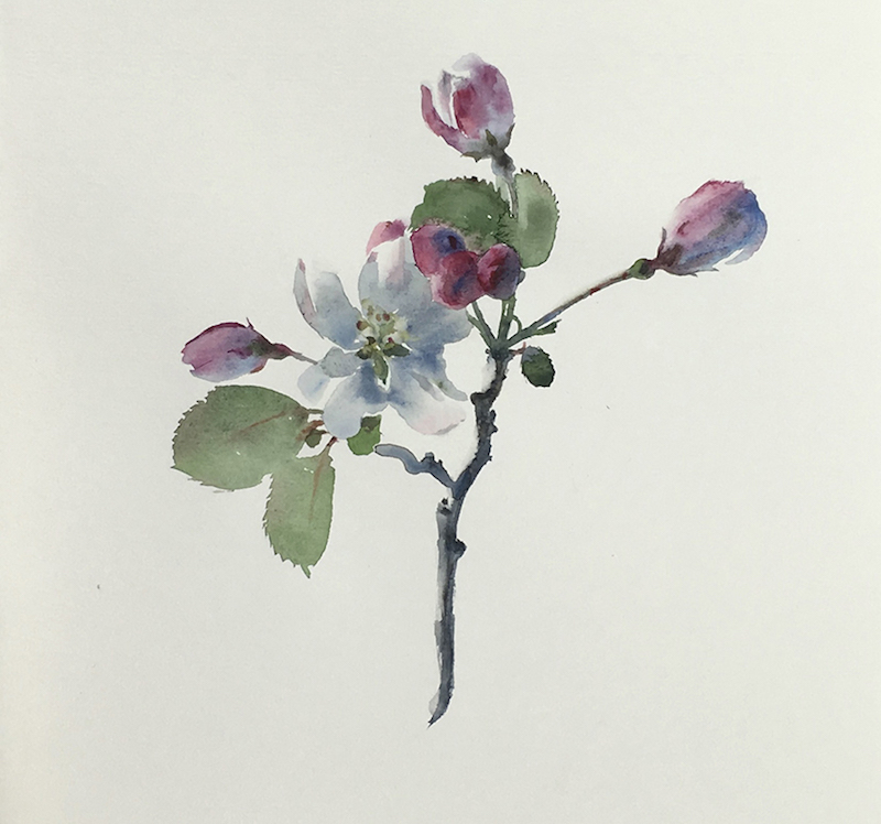 "Artist: Wendy Artin  Title: Crab Apple Blossom  Date: 2016  Size: 6 3/5"" x 7 1/2""  Method: Watercolor  Price:  Inquire"