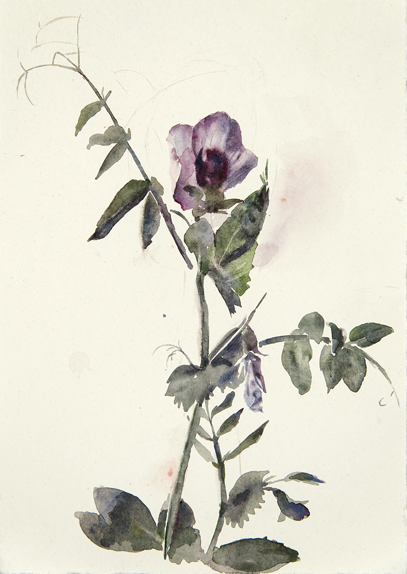 "Artist: Wendy Artin  Title: Wild Peas 1  Date: 2018  Size: 7.5"" x 11""  Method: Watercolor  Price:  Inquire"