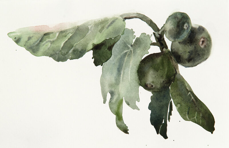 Artist: Wendy Artin  Title: Fig Branch Sketch 2  Date: 2019  Size: 6x8.5  Method: Watercolor  Price:  Inquire