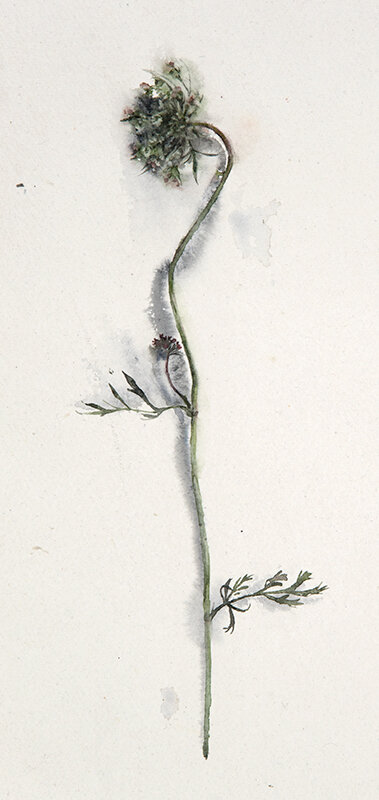 Artist: Wendy Artin  Title: Queen Anne's Lace  Date: 2019  Size: 6x13  Method: Watercolor  Price:  Inquire