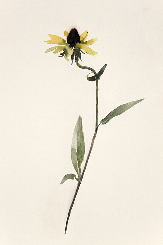 Artist: Wendy Artin  Title: Black Eyed Susan  Date: 2019  Size: 6x11  Method: Watercolor  Price:  Inquire