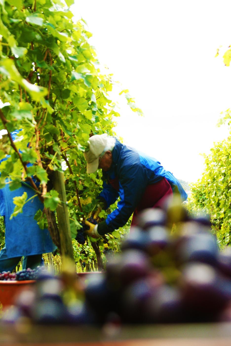 Vineyards are positioned on hillsides to allow an even distribution of rain. Image courtesy of Weinmanufaktur Untertürkheim.