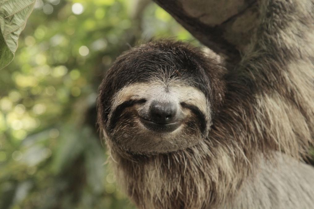 Sloth cold chillin' in its natural habitat. Image courtesy of Costa Rica Tourism Board.