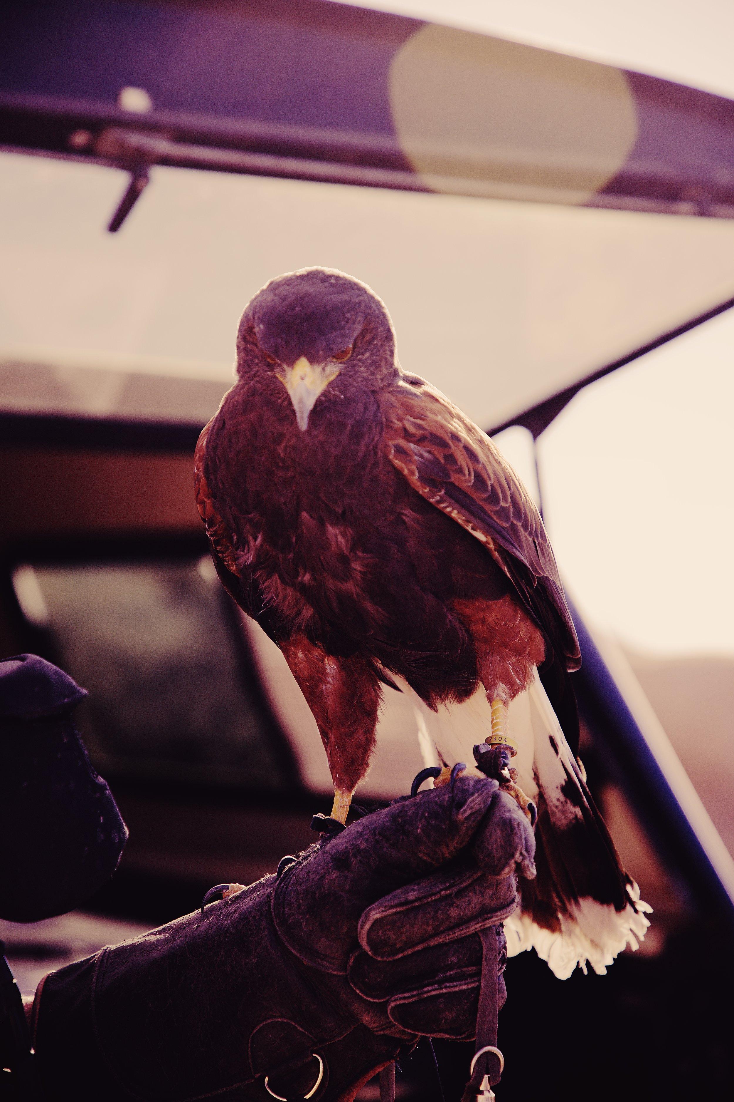 IMG_6562_x falcon.jpg