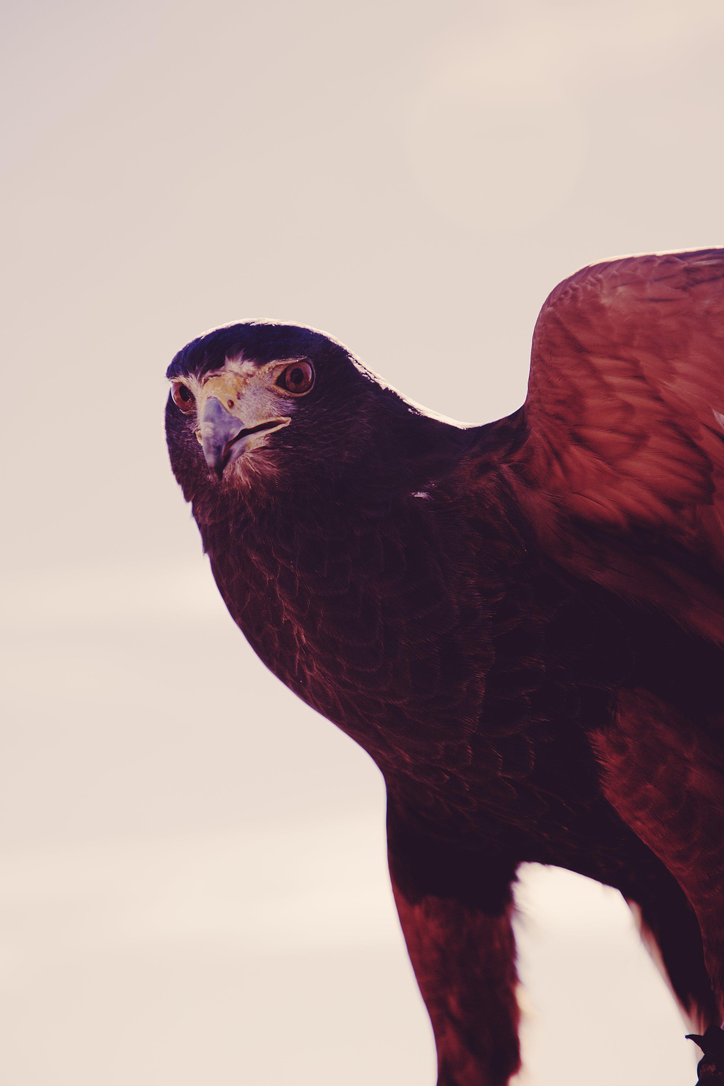 IMG_6775_x falcon.jpg