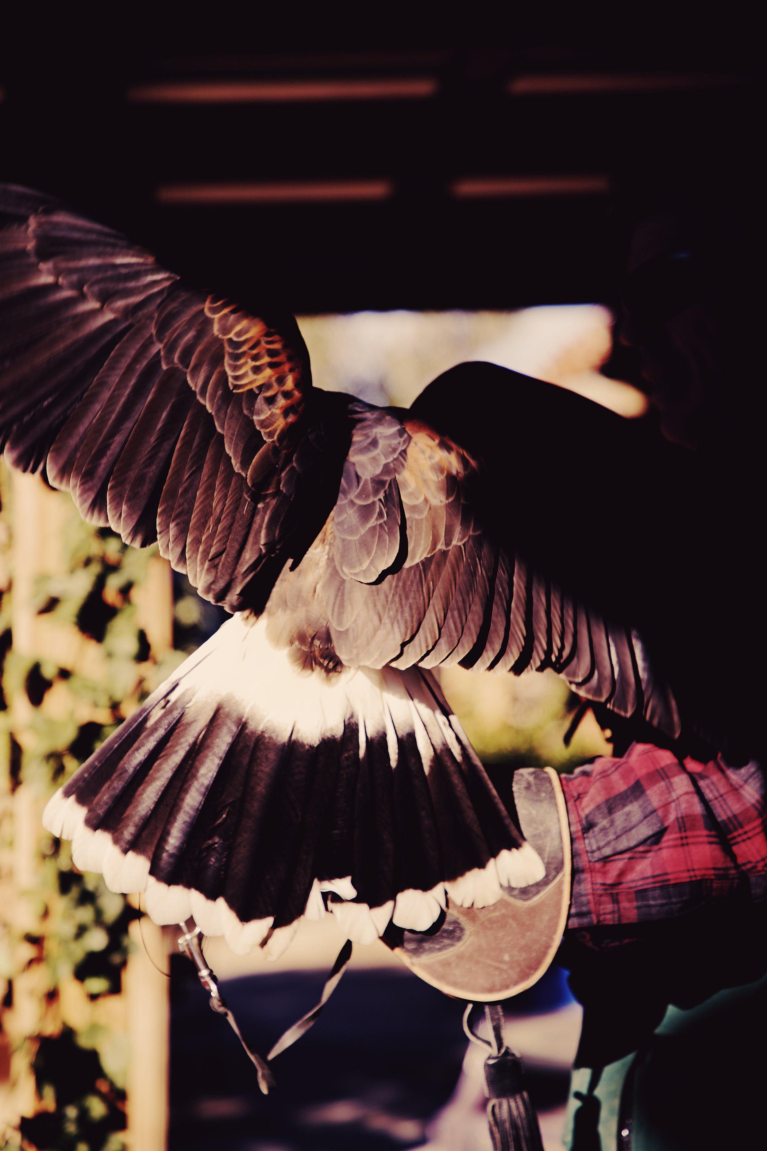 IMG_6452_x falcon.jpg