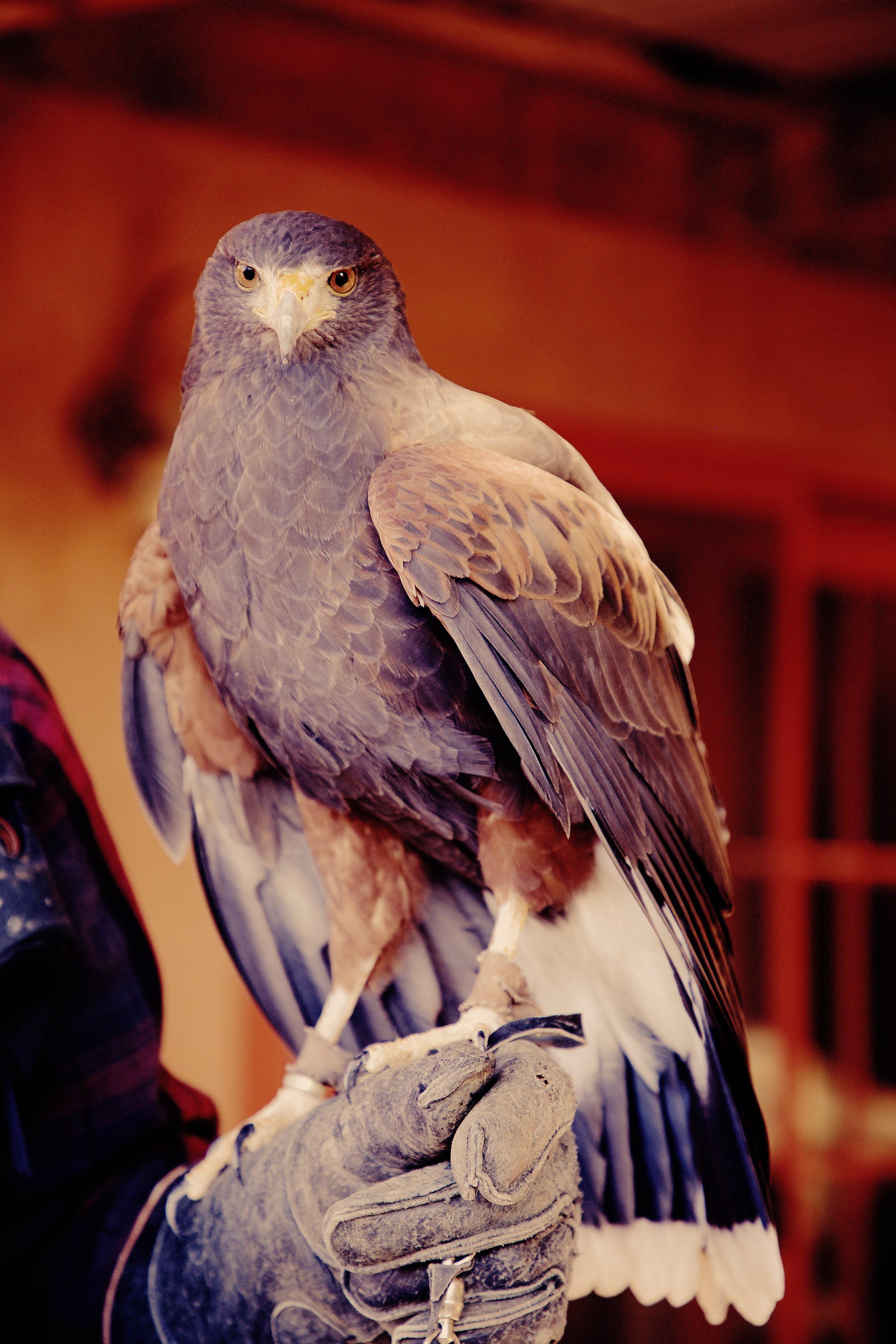 IMG_6347_x falcon.jpg