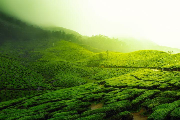 tea-plantation-2220475__480.jpg