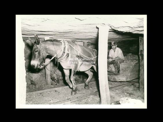 Mules were working in coal mines up to the mid 20th century. Source: West Virginia Archives. 1952