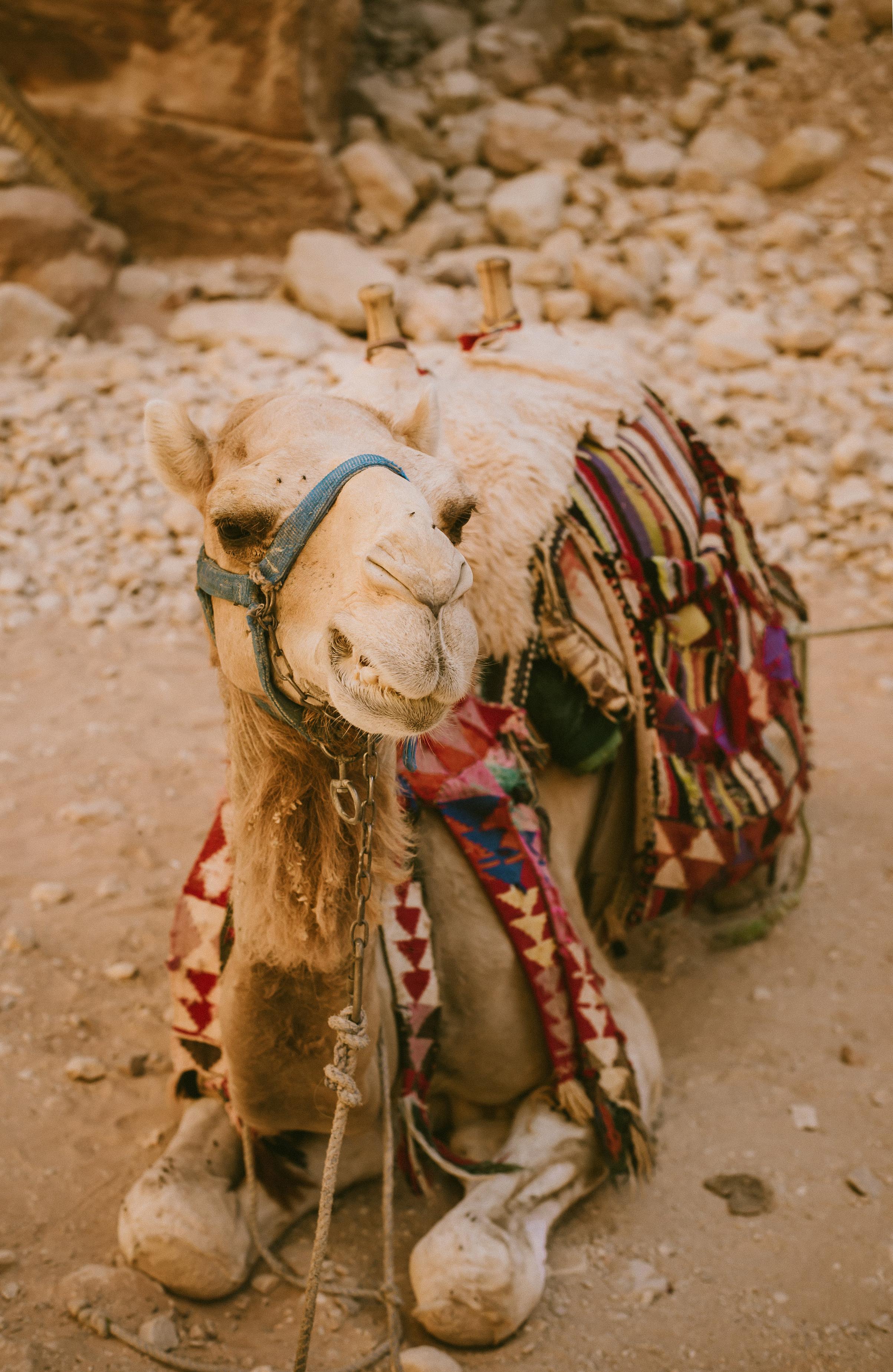 camelknees.JPG