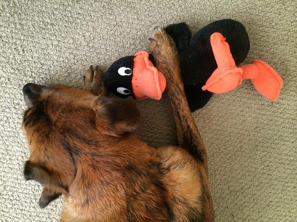 3/6/15 Daffy Pumpkin