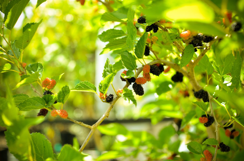 Mulberries A Natural Farm