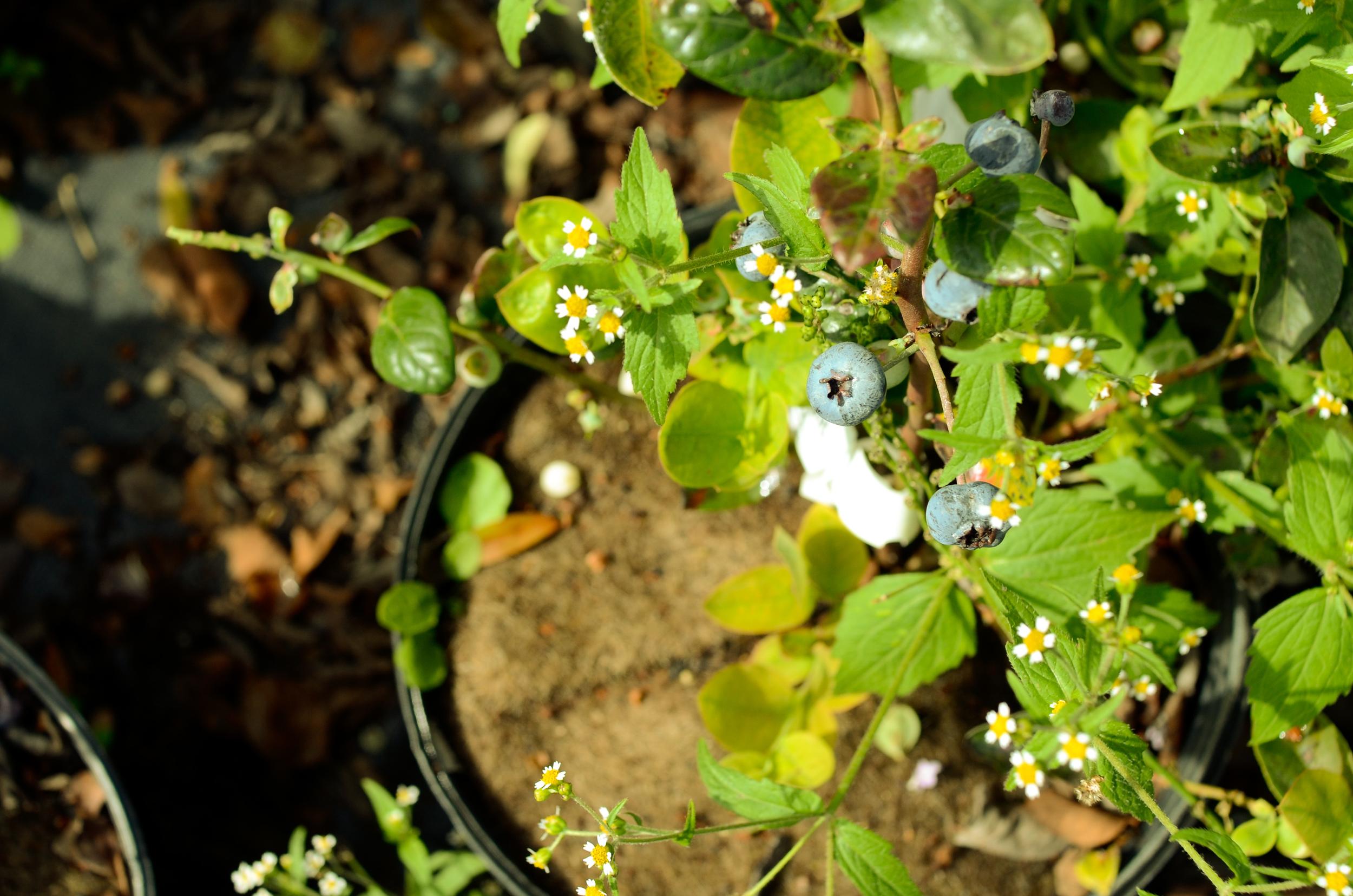 blueberry-100.jpg
