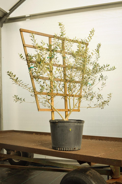 Olive espalier-9426.jpg