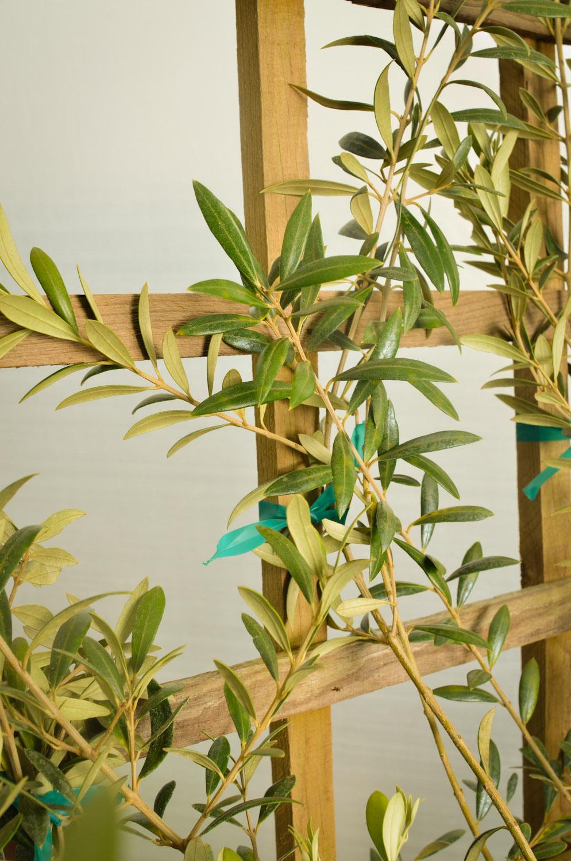Olive espalier-9428.jpg