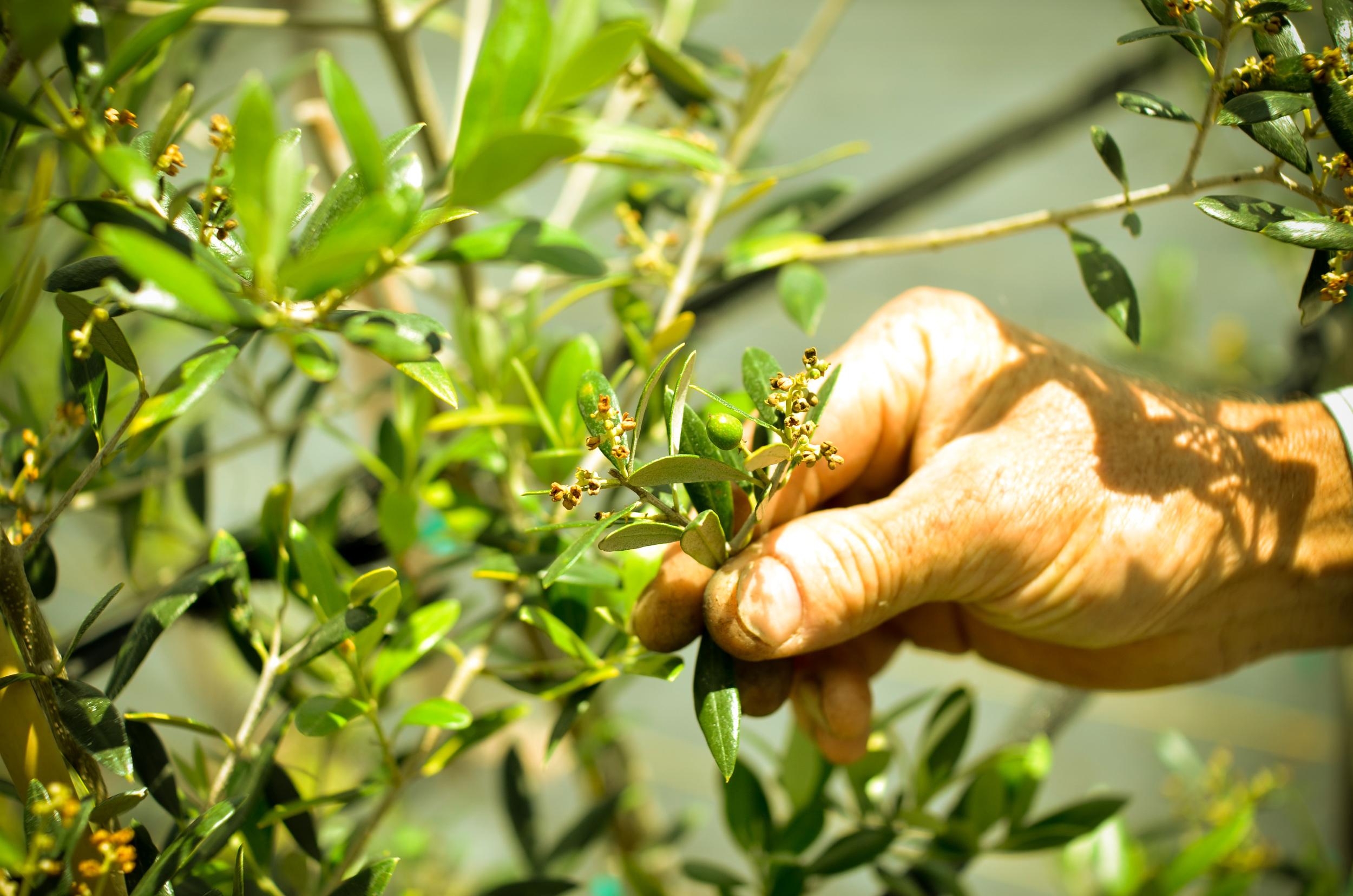 olive-152.jpg