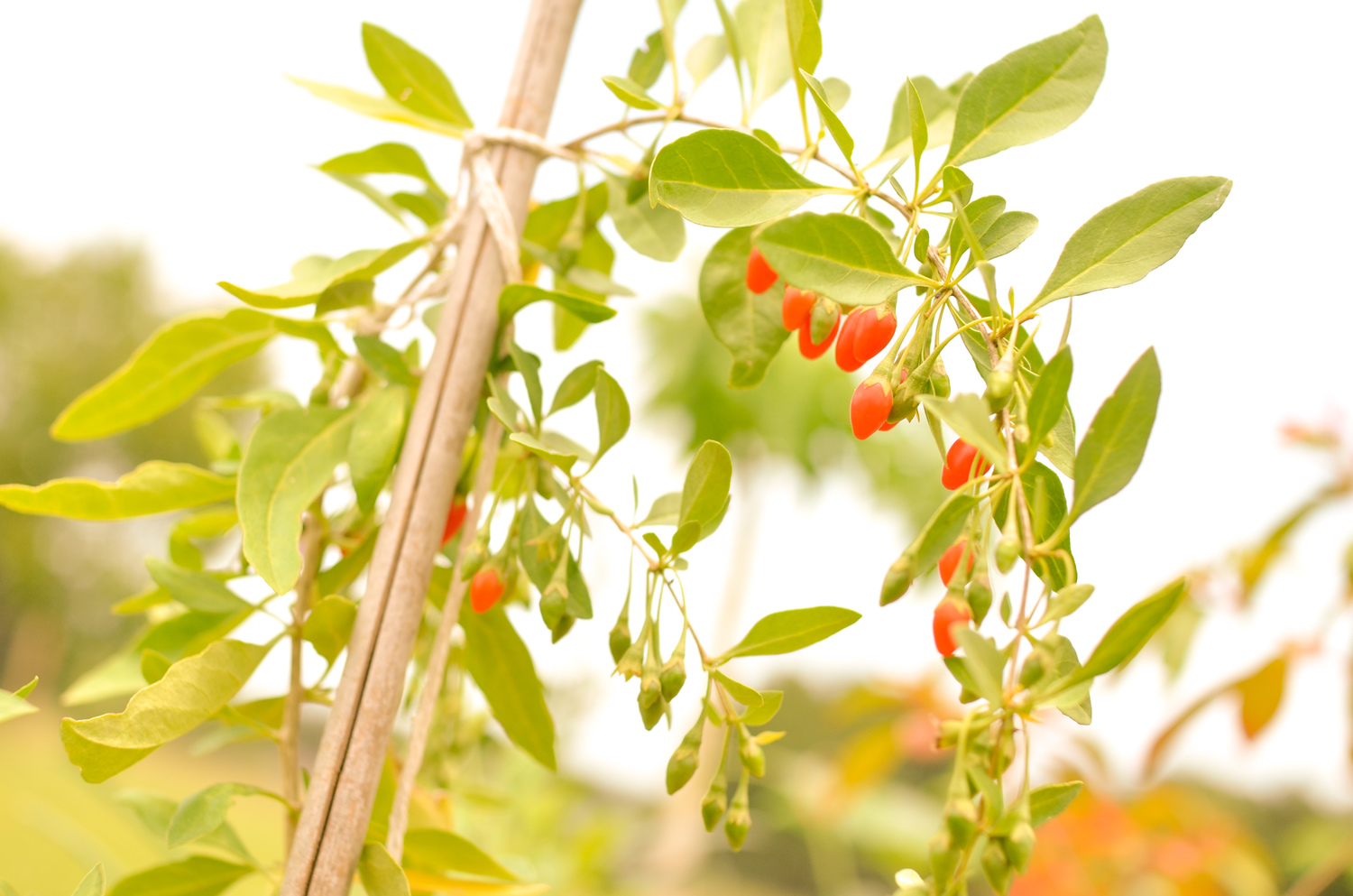 Goji Berry A Natural Farm
