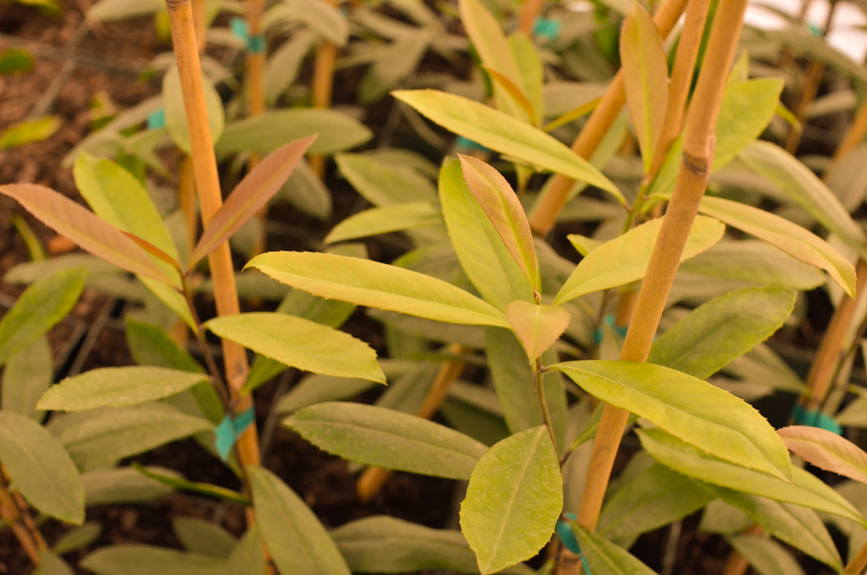 yerba-mate-plant.jpg