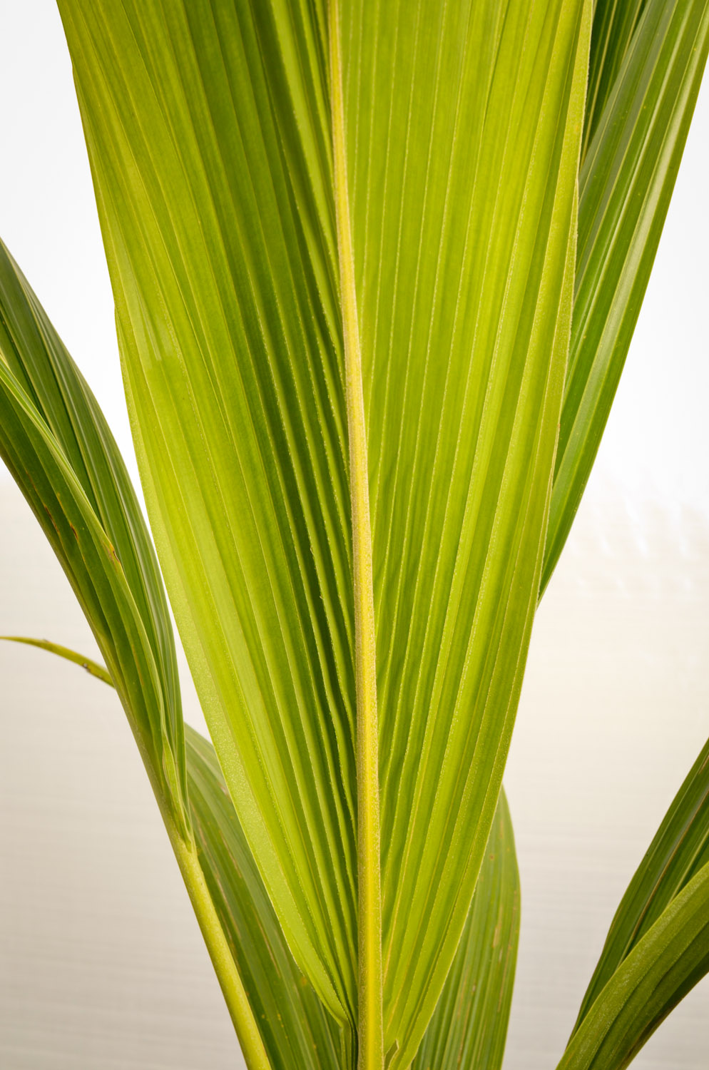 Coconut-palm-detail.jpg